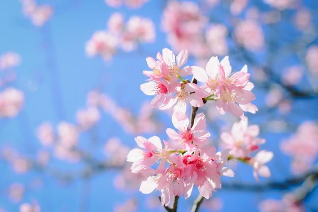 Flores cor de rosa no ramo com céu azul durante a primavera florescendo