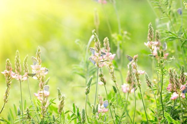 Flores cor de rosa sobre fundo verde com borboletas azuis, fundo bonito natural, com sol amarelo suave, atrás da luz