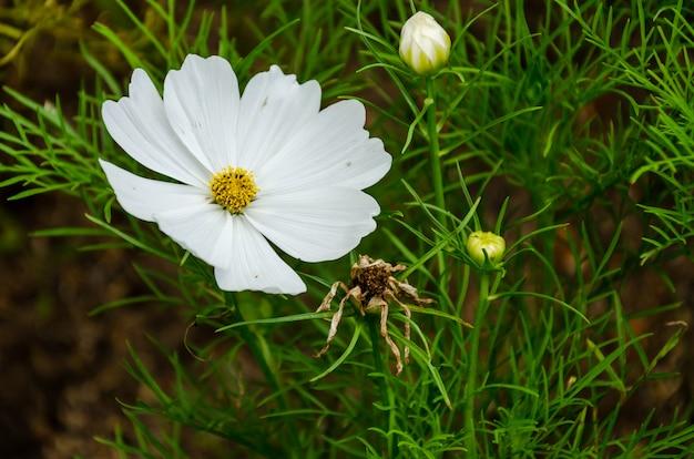 Flores cosmos no jardim, filtro de tons vintage