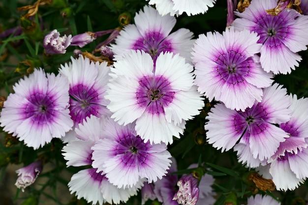 Flores cravos fotografadas close-up. vegetação ornamental no jardim.