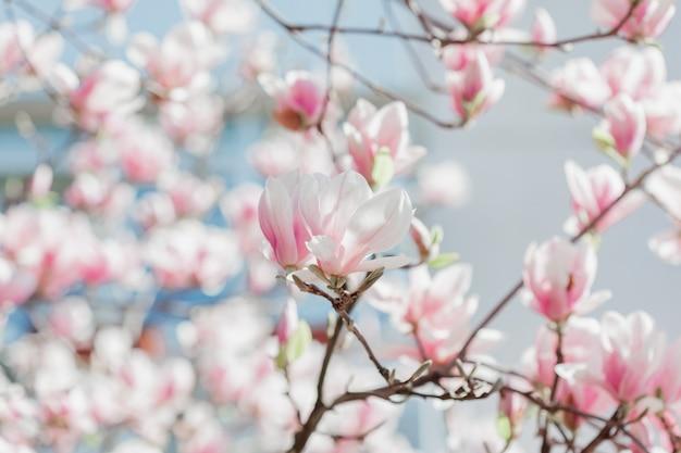 Flores da árvore da flor do rosa da magnólia, fim acima do ramo, ao ar livre.