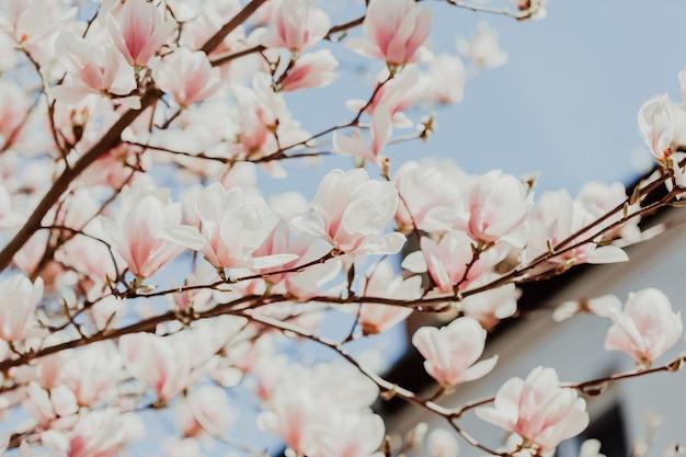 Flores da árvore de flor rosa de magnólia