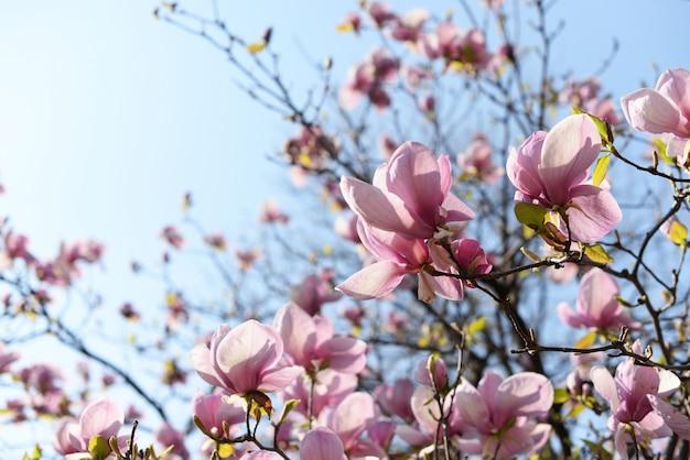 Flores da árvore de magnólia em um jardim na natureza