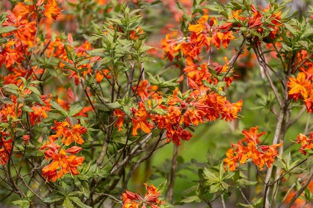 Flores da azaléia. anão bela planta com flor. foto de alta qualidade