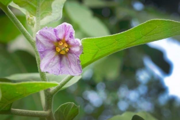 Flores da beringela que florescem no jardim.