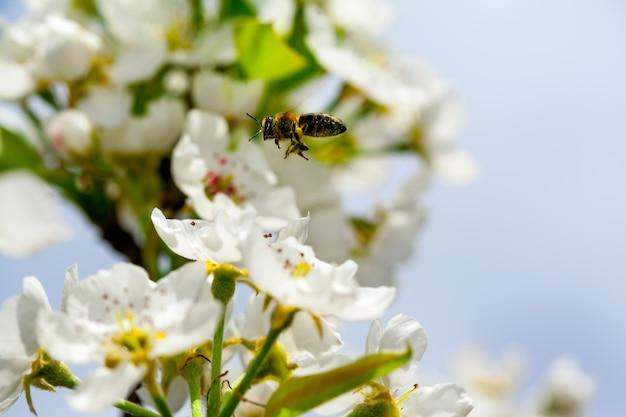 Flores da cerejeira na primavera