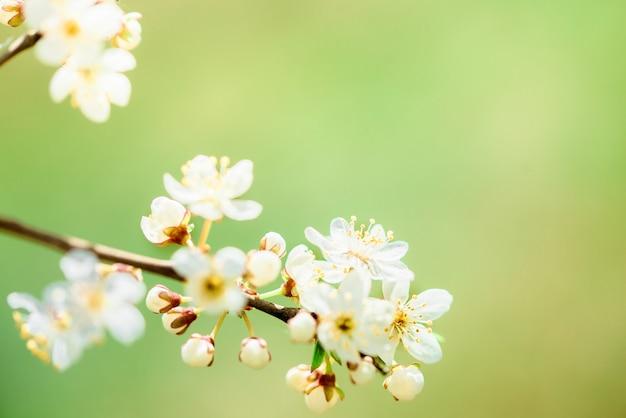 Flores da cerejeira