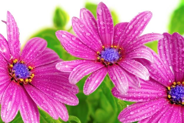 Flores da gazânia com gotas. (gênero asteraceae de splendens).