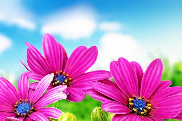 Flores da gazânia contra o céu azul. (gênero asteraceae de splendens).