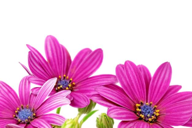 Flores da gazânia. (gênero asteraceae de splendens).