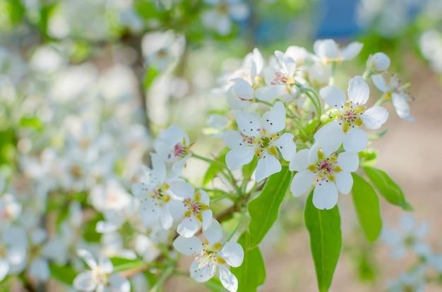 Flores da imagem embaçada de flores de cerejeira