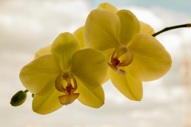 Flores da orquídea amarela, phalaenopsis, isoladas no fundo do céu. conceito de beleza. fechar-se.
