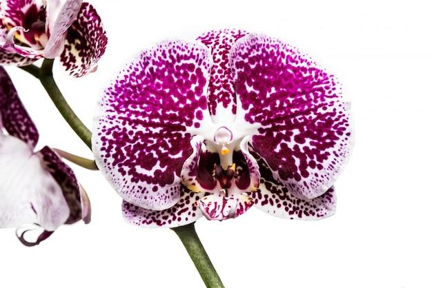 Flores da orquídea isoladas no fundo branco.