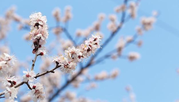 Flores da primavera. árvores de alperce floridas ao ar livre. lindo banner de natural