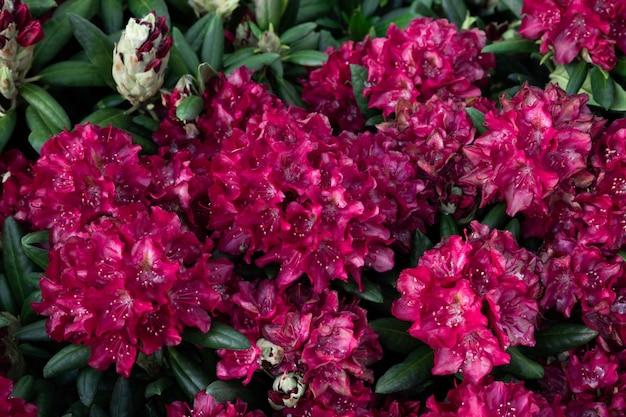 Flores da primavera das espécies de rododendros. lindas flores no canteiro closeup.