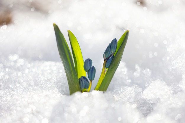 Flores da primavera de snowdrop com gotas de água