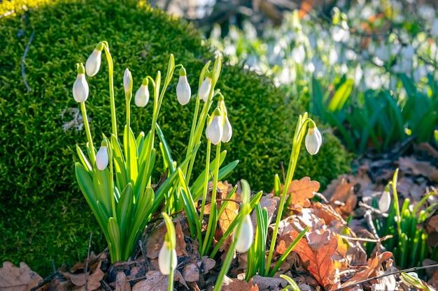 Flores da primavera de snowdrops na floresta perto de uma pedra coberta de musgo.