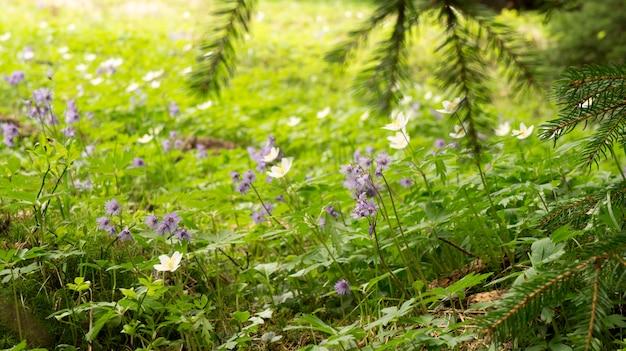 Flores da primavera na floresta de coníferas