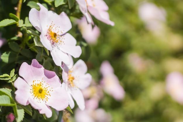 Flores da primavera no prado, rosas selvagens