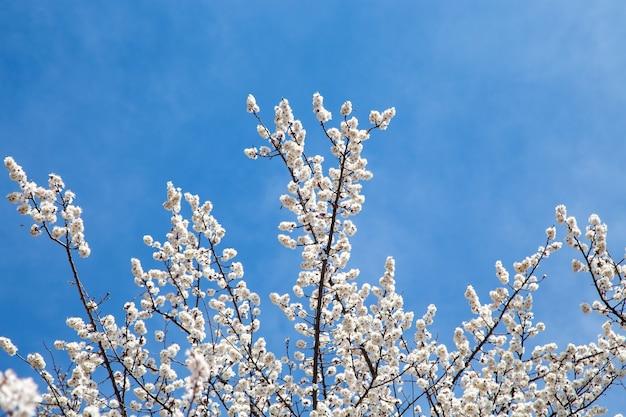 Flores da primavera. ramos de floração de damasco contra o céu azul. flor branca. fundo de primavera. flores de cerejeira.