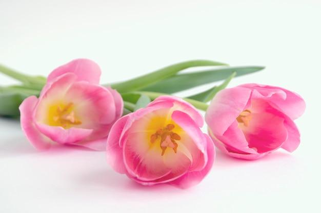 Flores da primavera. tulipas de florescência rosa close-up.