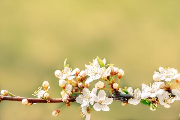 Flores das cerejeiras em flor em um dia de primavera