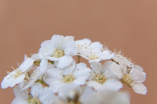 Flores das flores de cerejeira em um dia de primavera.