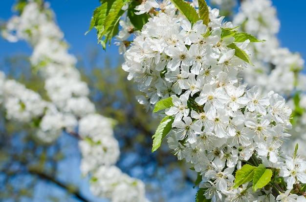 Flores das flores de cerejeira