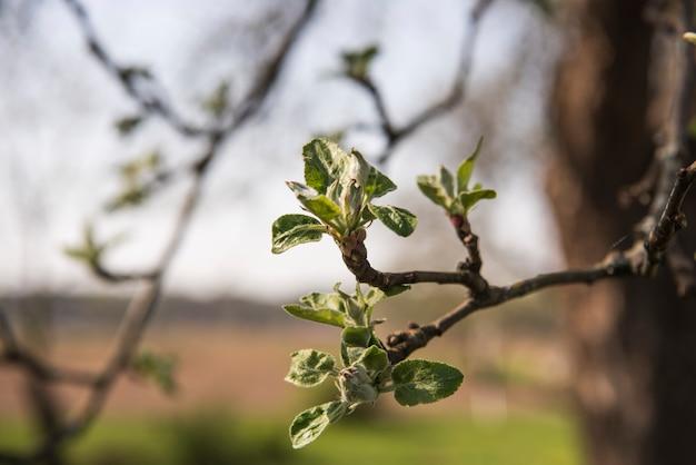 Flores das flores de macieira em um dia de primavera