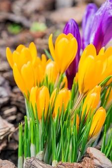 Flores de açafrão amarelas e roxas coloridas florescendo em um dia ensolarado de primavera no jardim