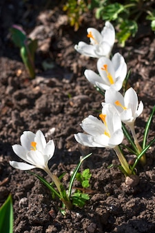 Flores de açafrão brancas no dia ensolarado de primavera