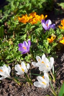Flores de açafrão coloridas no dia ensolarado de primavera