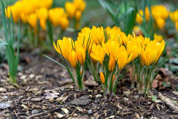 Flores de açafrão na primavera.