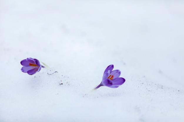 Flores de açafrão nos primeiros dias da primavera