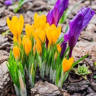 Flores de açafrão roxas e amarelas coloridas que florescem em um dia ensolarado de primavera no jardim