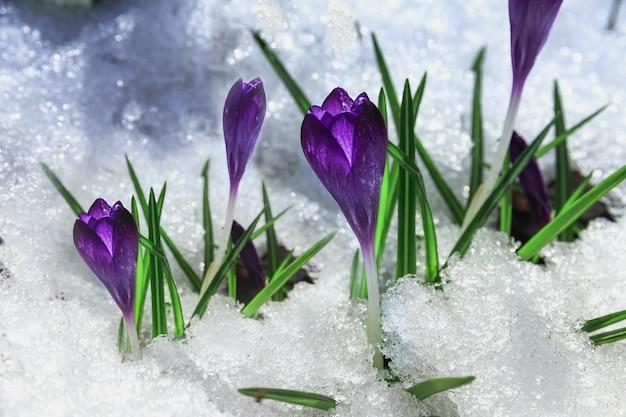 Flores de açafrão violeta de primavera na neve. as primeiras flores da primavera nascem da neve