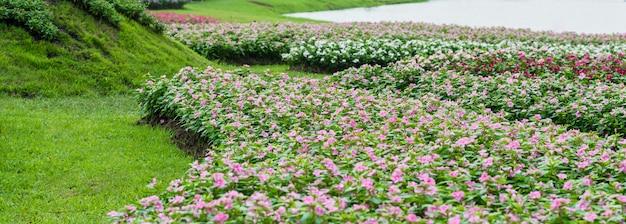 Flores de agrião-de-rosa