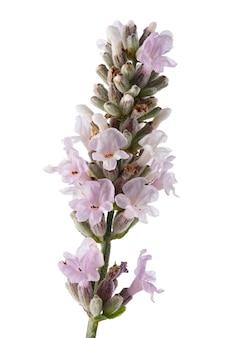 Flores de alfazema isoladas no fundo branco.