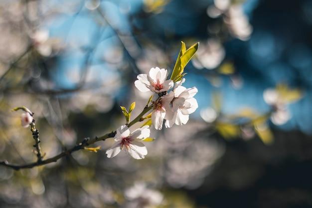Flores de almendro com desenfocado el fondo Foto Premium