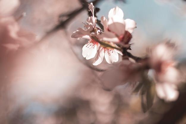 Flores de almendro com tonos rosa e el fondo desenfocado