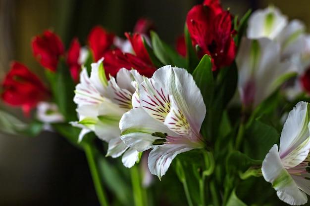 Flores de alstroemeria buquê de cores vermelhas e brancas em fundo escuro. fechar-se. foco seletivo suave. profundidade superficial de campo. espaço da cópia do texto.