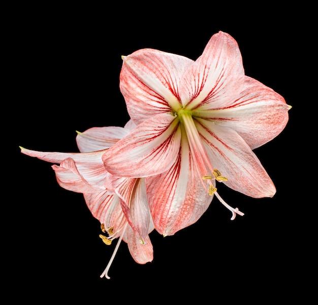 Flores de amaryllis (hipperastrum) isoladas em preto