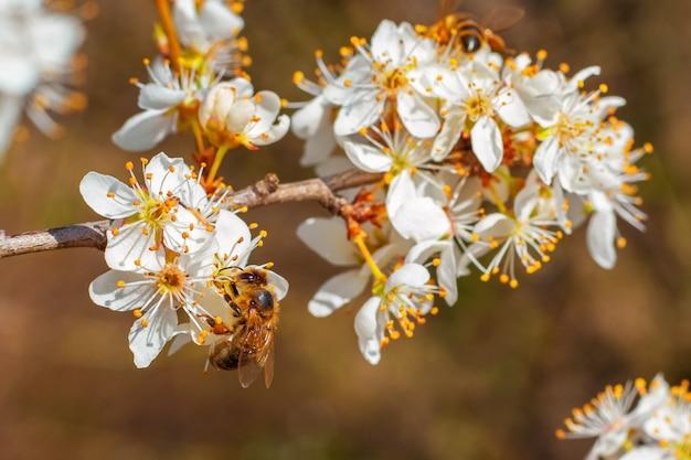 Flores de ameixa em uma árvore em um clima ensolarado com uma abelha em uma flor