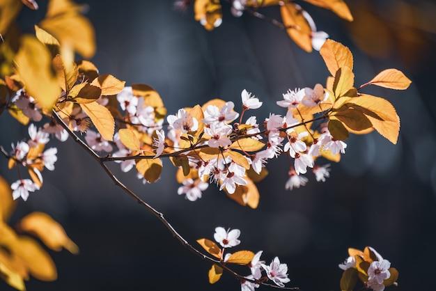 Flores de ameixeira, também conhecida como prunus cerasifera pissardii, no início da primavera