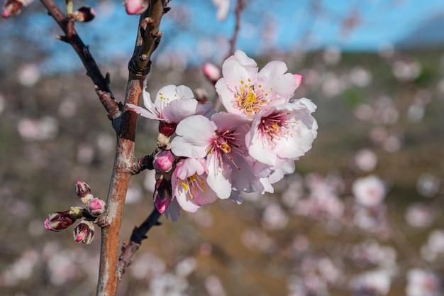 Flores de amêndoa, (prunus dulcis), florescendo