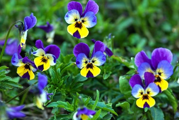 Flores de amor-perfeito azuis e amarelas (viola tricolor) no jardim de verão