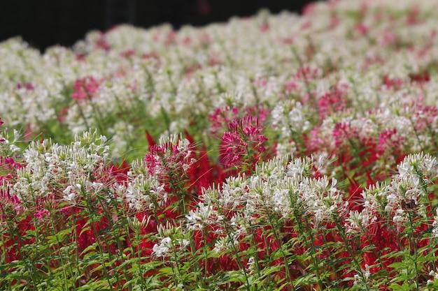 Flores de aranha no campo florescem flores em dia de sol