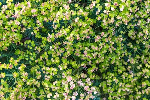 Flores de arbusto decorativo de um fundo de férias floral close-up de planta verde para uma florista