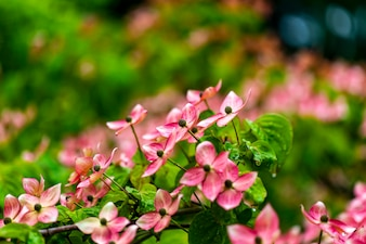 Flores de árvore de corniso