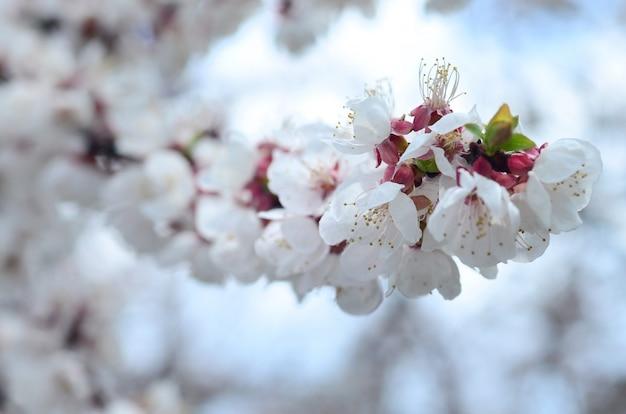 Flores de árvore de maçã-de-rosa com flores brancas sobre fundo de céu azul